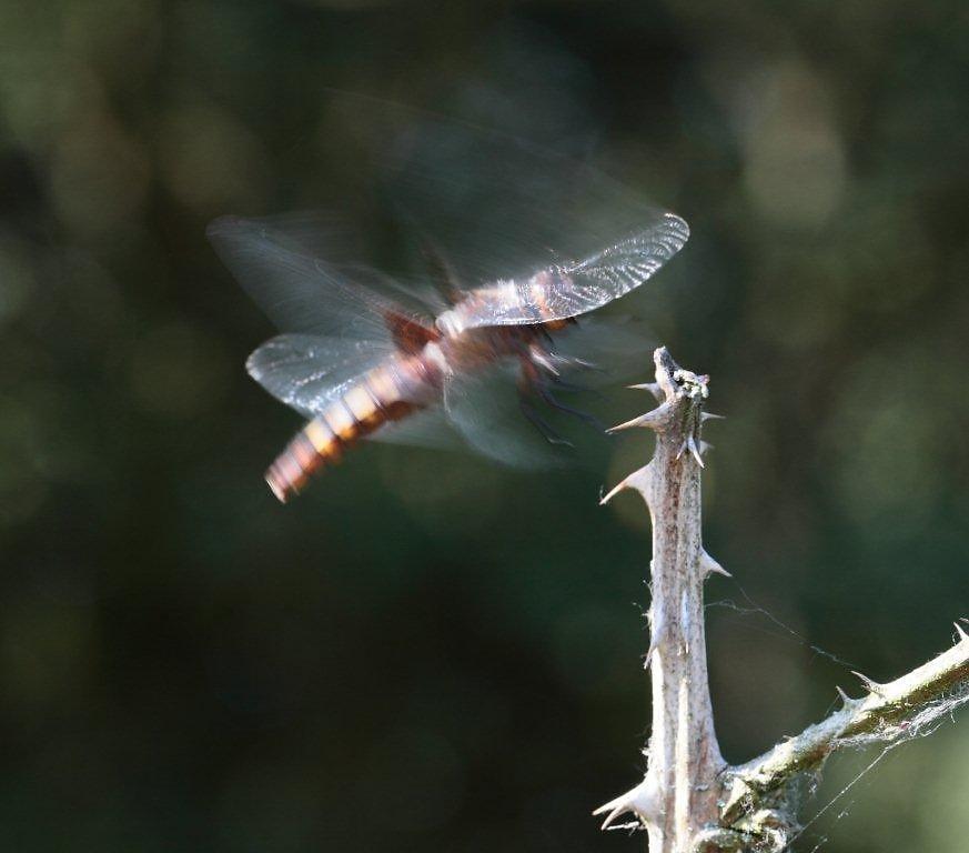 libellules-11.jpg